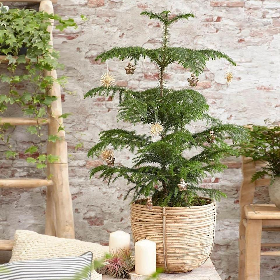 "<p><strong>1 Review</strong></p><p>brighterblooms.com</p><p><strong>$59.99</strong></p><p><a href=""https://www.brighterblooms.com/products/norfolk-island-pine-tree?variant=31398989332541&gclid=Cj0KCQiAtqL-BRC0ARIsAF4K3WE3uI-MAVCdGdkXz3FFf9Dk69Dj-kxljHLF7Rb0XgK8ru0EVirla9oaAoC4EALw_wcB"" rel=""nofollow noopener"" target=""_blank"" data-ylk=""slk:Shop Now"" class=""link rapid-noclick-resp"">Shop Now</a></p>"