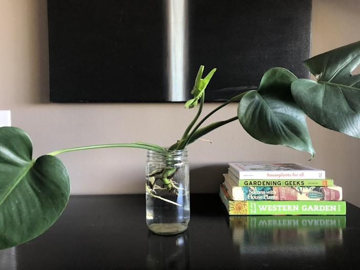 A Monstera deliciosa cutting takes root in water.