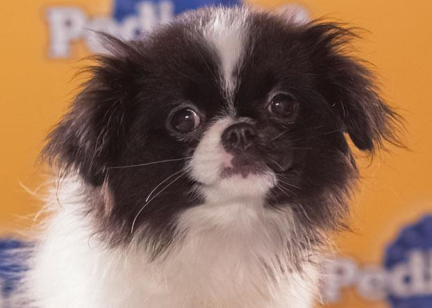 "Nala, an 8-week-old Japanese chin, is described as ""sweet and sassy,"" but she can also be very fierce with her brother Simba. (Photo by Keith Barraclough/DCL)"