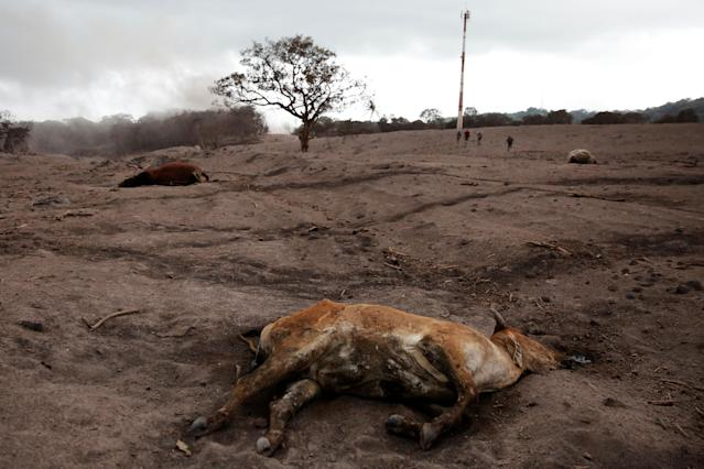 <p>A dead calf is seen at an area affected by the eruption of the Fuego volcano at El Rodeo in Escuintla, Guatemala June 6, 2018. REUTERS/Carlos Jasso – RC1F04EC9700 </p>