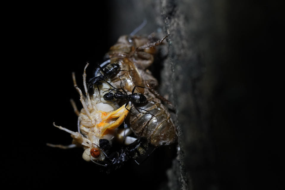 Black carpenter ants devour a cicada as it tries to shed its nymph shell in Chevy Chase, Md., Thursday, May 13, 2021. (AP Photo/Carolyn Kaster)