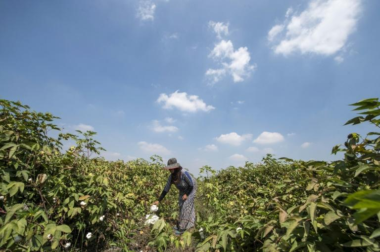 An Egyptian cotton picker at work in Kafr el-Sheikh in the Nile Delta