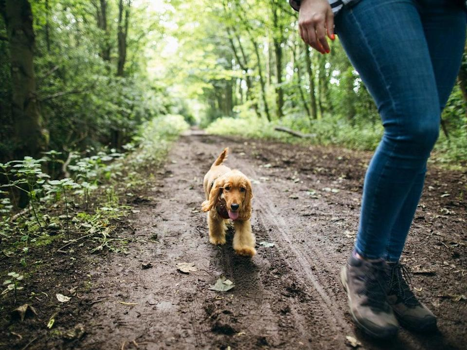 Fluffy cocker spaniel on a walk with its owner (Getty Images)