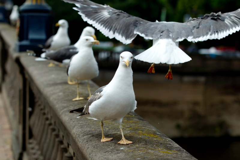 A planned seagull cull in Worcester has been called off by council bosses (SWNS)