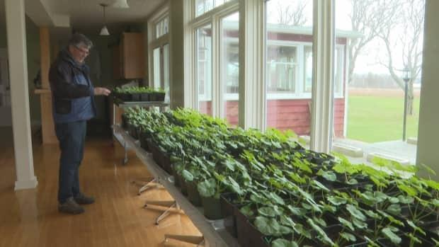 Rob Shaw tends to geraniums for his summer tourism property.