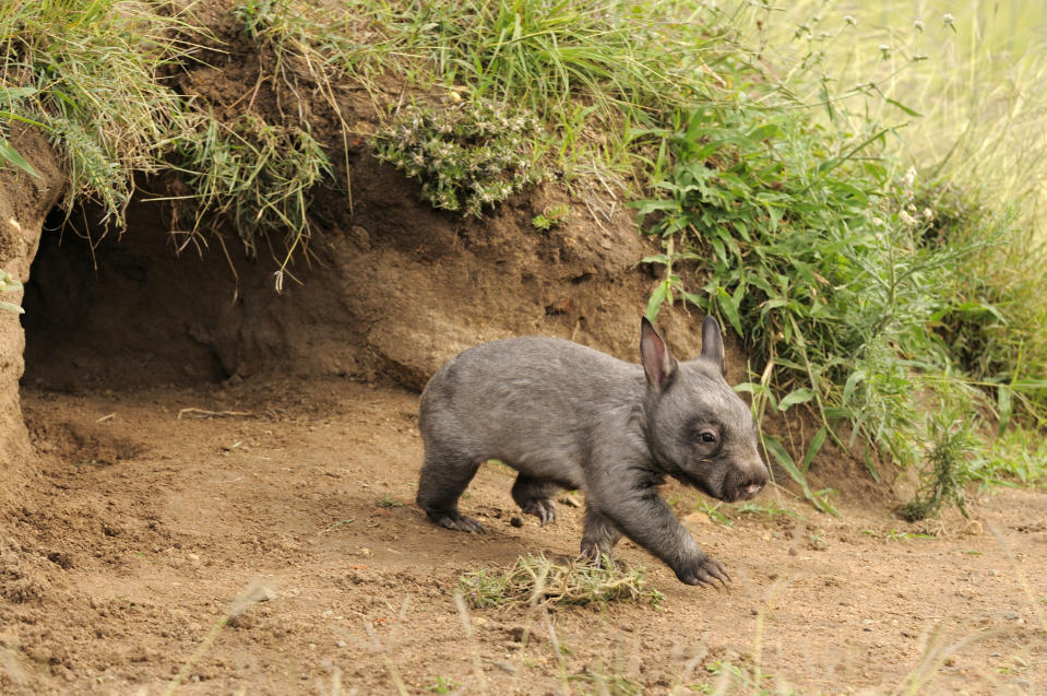 Southern hairy-nosed wombats are known to have extensive burrow systems. Source: Getty