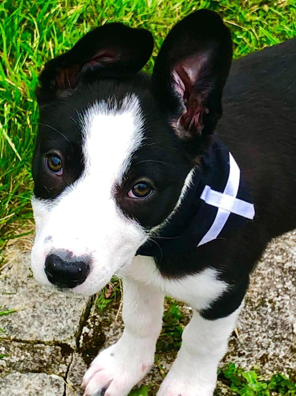 Collie pup Maisy was attacked by the big cat (SWNS)