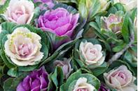 """<p><a href=""""https://go.redirectingat.com?id=74968X1596630&url=https%3A%2F%2Fwww.burpee.com%2Fflowers%2Fornamental-kales%2Fornamental-kale-crane-pink-hybrid-25045.html%3Fgclid%3DCjwKCAjw4NrpBRBsEiwAUcLcDOoMyoupRcXnv9MBzi6m69_hpyxL3SGkyoAS1RTADqQLU8rAZEQkTBoCMrMQAvD_BwE&sref=https%3A%2F%2Fwww.veranda.com%2Foutdoor-garden%2Fg28460765%2Fautumn-flowers-and-plants%2F"""" rel=""""nofollow noopener"""" target=""""_blank"""" data-ylk=""""slk:Flowering kale"""" class=""""link rapid-noclick-resp"""">Flowering kale</a> will add unexpected hints of green, purple, and white to your fall garden and will last all the way through winter in more mild climates.</p><p><strong>When it blooms: </strong>Fall through winter</p><p><strong>Where to plant:</strong> Partial to full sun</p><p><strong>When to plant:</strong> Early summer (by the first of July)</p><p><strong>USDA Hardiness Zones:</strong> 2 to 11</p>"""