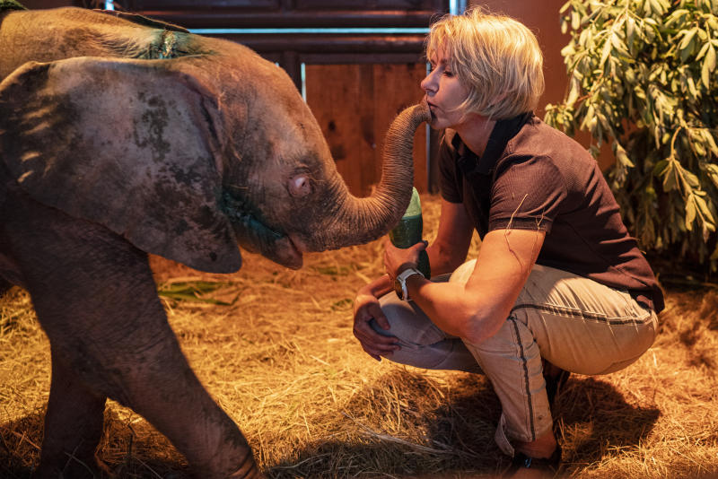 In this photo taken Tuesday Feb. 11, 2020, Adine Roode, founder of the Hoedspruit Elephant Rehabilitation and Development center (HERD), plays with Khanysia, a five-month-old albino elephant in Hoedspruit, South Africa. Khanysia was severely wounded by a manmade snare set by a poacher in the lower Kruger park . She was found days later severely dehydrated and brought to the Hoedspruit elephant reab center.  (AP Photo/Jerome Delay)