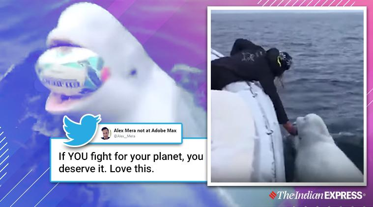 Beluga whale plays fetch with Rugby fans, Arctic pole, Beluga Whale and humans, South Africa wins world rugby championship, South Africa rugby, Trending, Indian express news