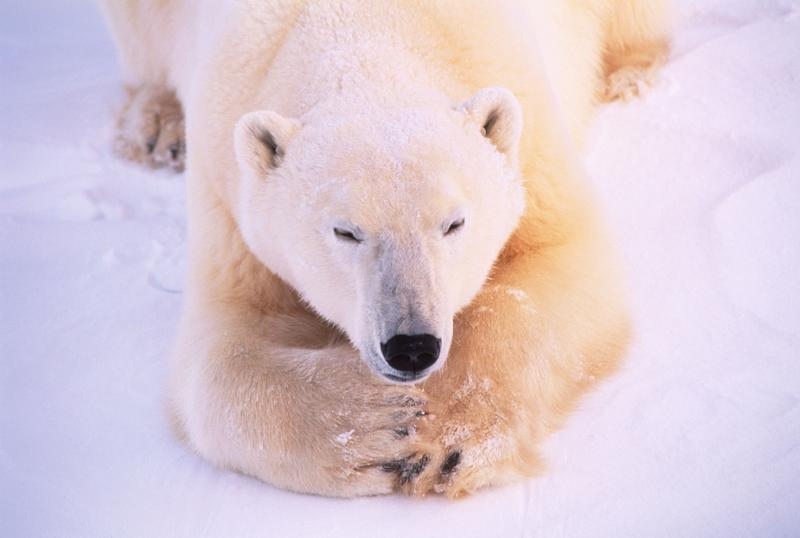 Polar bear (Thalarctos maritimus) in snowscape