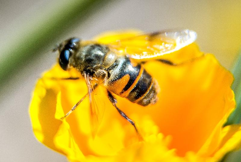 Fears have been growing globally in recent years over the health of bees, which help pollinate 90 percent of major crops