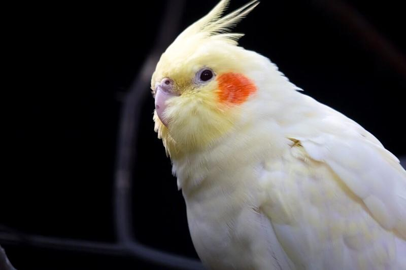 Missing Cockatiel Bird Smidge Reunited With Owner After Heard Singing Its 'Favourite' Addams Family Theme Tune