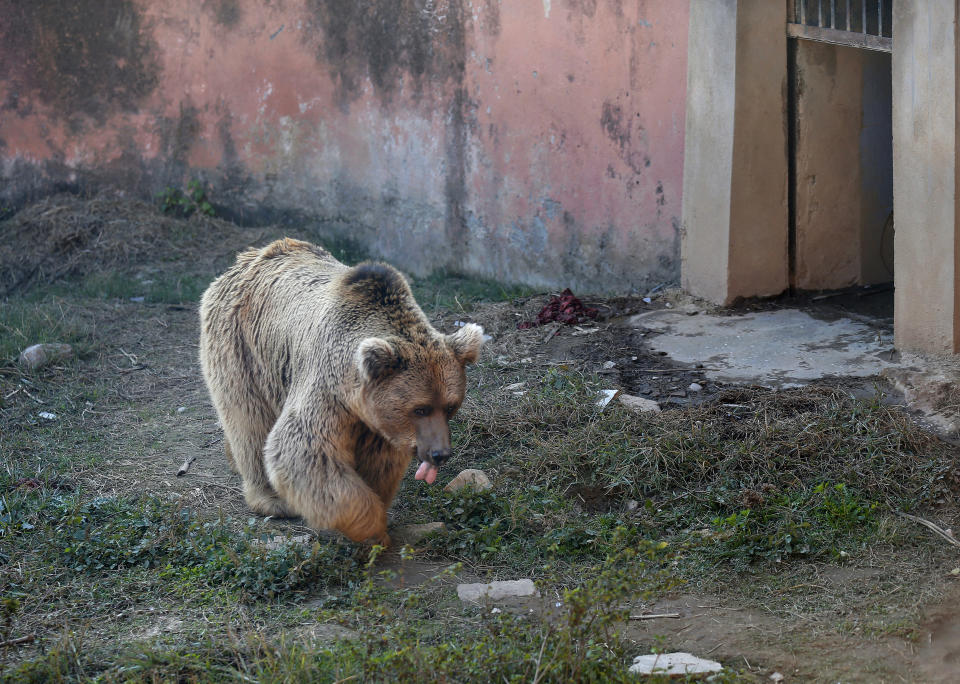 A sick brown bear walks at his enclosure in the Marghazar Zoo, in Islamabad, Pakistan, Wednesday, Dec. 16, 2020. A pair of sick and neglected dancing Himalayan brown bears will leave Islamabad's notorious zoo Wednesday for a sanctuary in Jordan, closing down a zoo that once housed 960 animals. The Marghazar Zoo's horrific conditions gained international notoriety when Kaavan, dubbed the world's loneliest elephant, grabbed headlines and the attention of iconic American entertainer Cher. (AP Photo/Anjum Naveed)