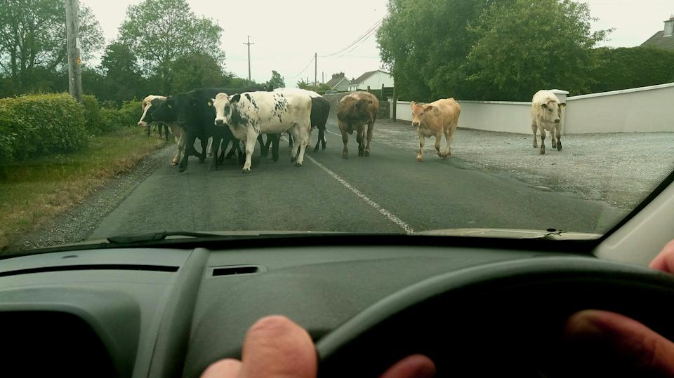 Herd of cows blocking road. Source: Getty Images