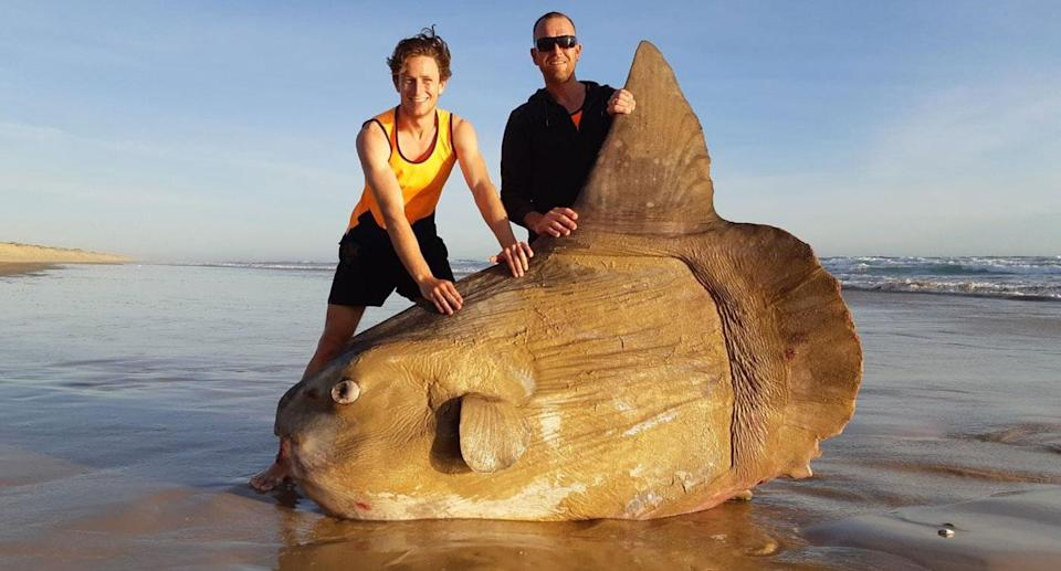 Linette Grzelak was at the beach near Murray Mouth at Coorong recently when she and her partner came across an enormous sunfish. Source: Facebook/ Linette Grzelak