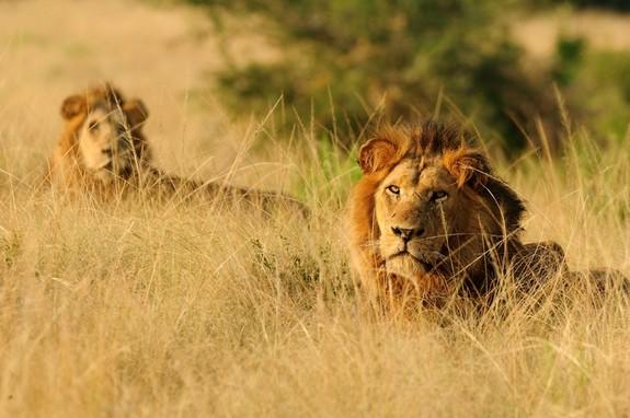 "Two Healthy Lions, and Their Cubs, ""Zoothanized"" … Why? (Op-Ed)"