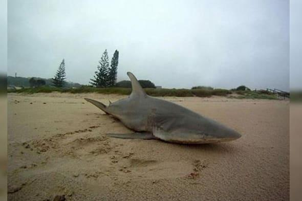 Cyclone Marcia washes up shark