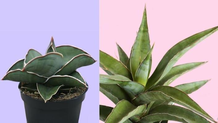This stunning snake plant behaves like a succulent in that you can set it and forget it.