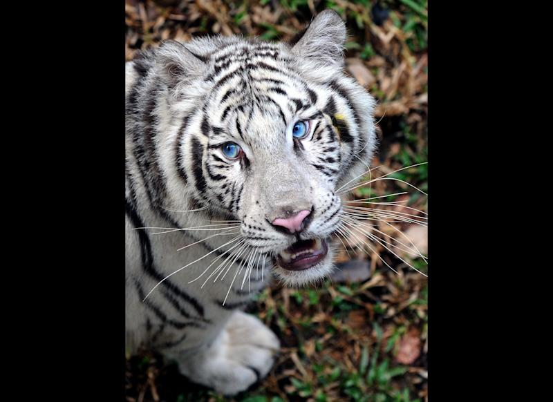 A White Tiger (Panthera Tigris) walks in the Zoological Gardens in Colombo on March 2, 2010. A pair of tigers were presented by The Chinese government to the Sri Lankan zoo as a mark of friendship. February 14, 2010 marked the start of 'The Year of the Tiger' according to the Lunar Calendar. AFP PHOTO/Ishara S.KODIKARA (Photo credit should read Ishara S.KODIKARA/AFP/Getty Images)