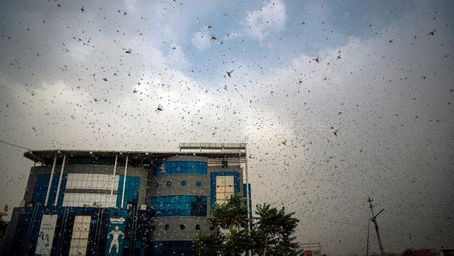 High alert issued in border districts of Jharkhand amid sightings of locust swarms in Rajasthan, Punjab, Madhya Pradesh
