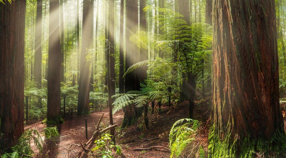 <p>Sunlight peeks through the trees in the redwood forest of Rotorua.</p>
