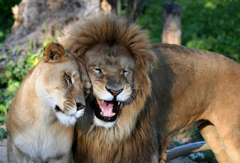 A lion and a lioness are seen at Tunisia's Belvedere Zoo, which has reopened with extra guards after visitors stoned a crocodile to death