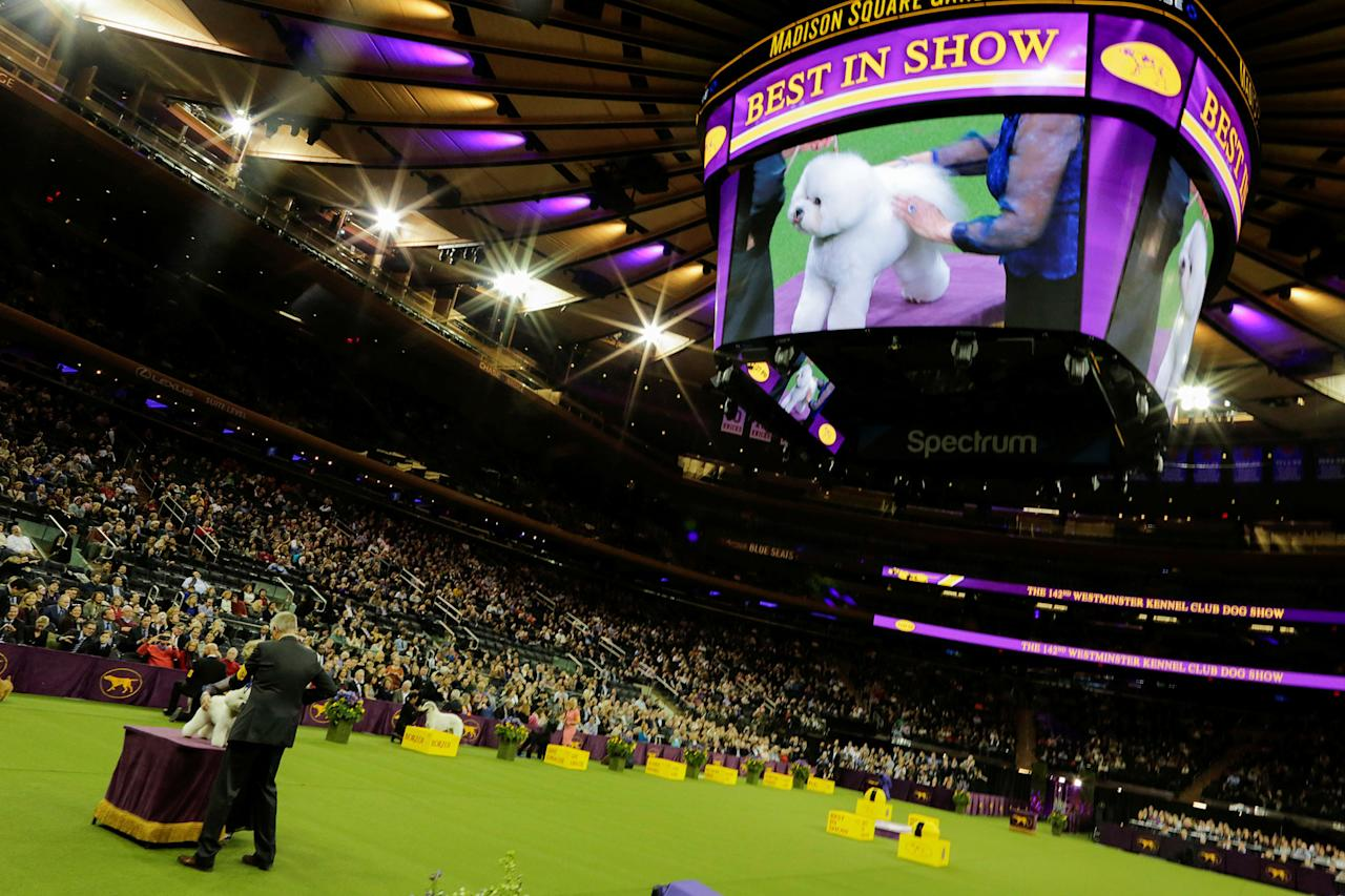<p>Flynn, a bichon frise, is seen on the ring before winning the Best in Show at the 142nd Westminster Kennel Club Dog Show in New York, Feb. 13, 2018. (Photo: Eduardo Munoz/Reuters) </p>