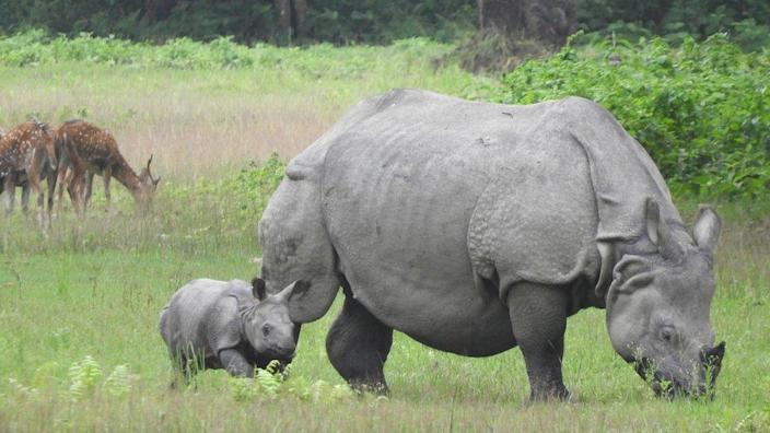A rhino grazes with a young rhino calf alongside her