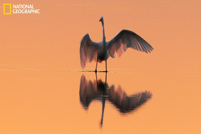 Egret on Lake Neusiedl at the border of Austria and Hungary. (Photograph courtesy Guenther Karmann/National Geographic Your Shot)