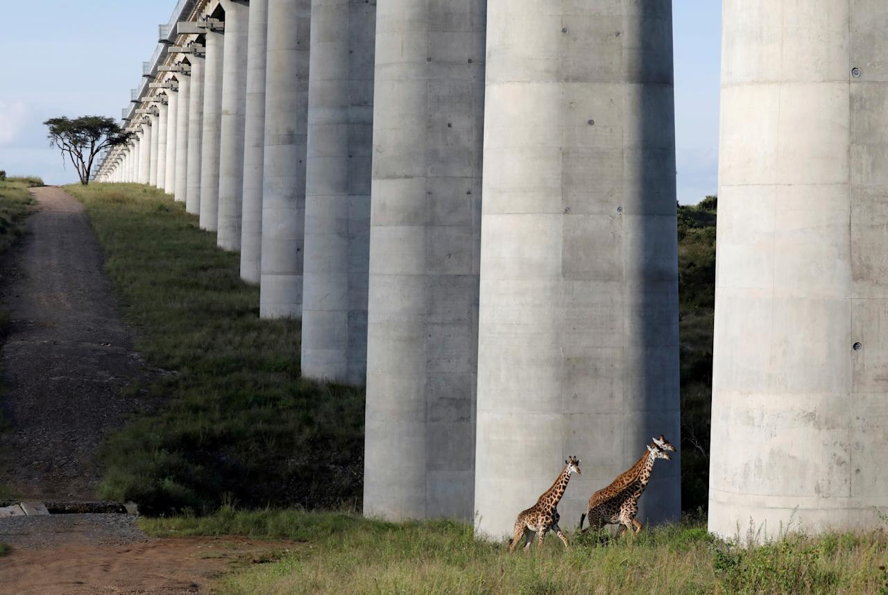 Giraffes cross under the bridge of the Standard Gauge Railway (SGR) line inside the Nairobi National Park in Nairobi, Kenya, May 25, 2020. REUTERS/Baz Ratner     TPX IMAGES OF THE DAY