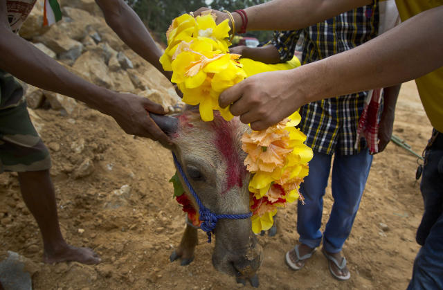 <p>Devotees put a garland on a buffalo calf before it is sacrificed at a temple of Hindu goddess Durga at Rani village on the outskirts in Gauhati, Assam state, India. Participants in the five-day Durga Puja festival believe the sacrifices bring prosperity and good health. But in some parts of India, religious animal sacrifices are banned. ( Photo: Anupam Nath/AP) </p>