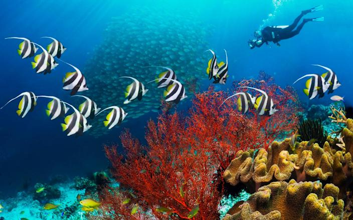 Bannerfish congregate on acoral reef in Thailand, where the Colmans took their first diving holiday - Getty