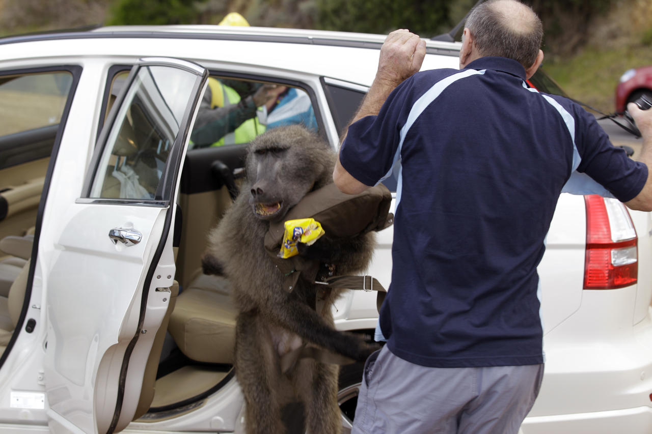 Hendrik Raven reacts as a baboon jumps towards him after raiding his car taking food stuff near Cape Point on the outskirts of Cape Town, South Africa, Wednesday, Oct 19, 2011. A number of workers are employed as baboon monitors to prevent baboons raiding cars, houses, dust bin's. The baboon monitors spend their days following baboon troops across the Cape Peninsula to insure they do not miss behave. (AP Photo/Schalk van Zuydam)