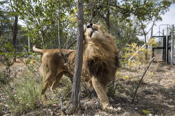 <p>A lion marks a tree in his new enclosure at the Emoya Big Cat Sanctuary, on May 1, 2016, in Vaalwater, South Africa.<i> (Dan Kitwood/Getty Images)</i></p>