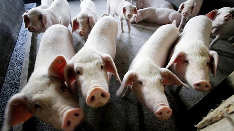 China's pork industry under threat as African swine fever spreads to all provinces