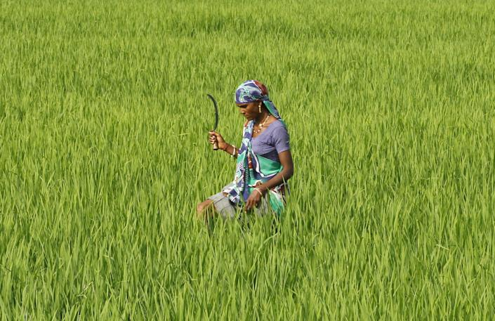 A farmworker in a rice paddy field in Ahmedabed, India. An unconventional method for growing rice has been found to increase yields by 20 to 50 percent. (Photo: Amit Dave/Reuters)