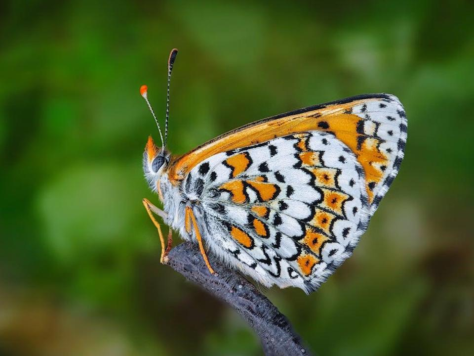 Researchers introducing the Glanville fritillary butterfly (pictured) to the island of Sottunga got more than they bargained for (Pixabay)