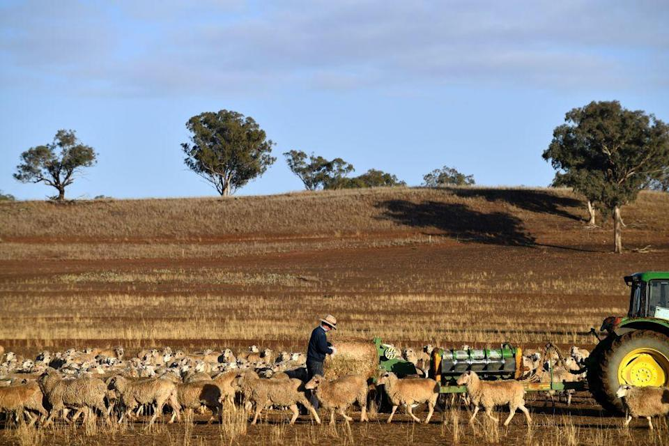 <p>Farmer Clive Barton feeds his sheep with a bale of hay as the land is too dry for grass to grow in the drought-hit area of Duri in New South Wales [Picture: Getty] </p>