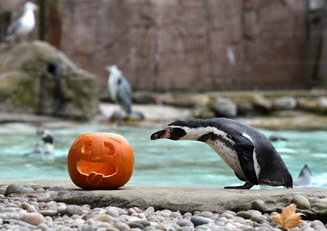 <p>A Humboldt Penguin investigates a carved pumpkin at a Halloween event at ZSL London Zoo, London, Britain, Oct. 26, 2017. (Photo: Mary Turner/Reuters) </p>