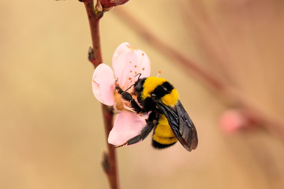 Bumble bee on peach flower