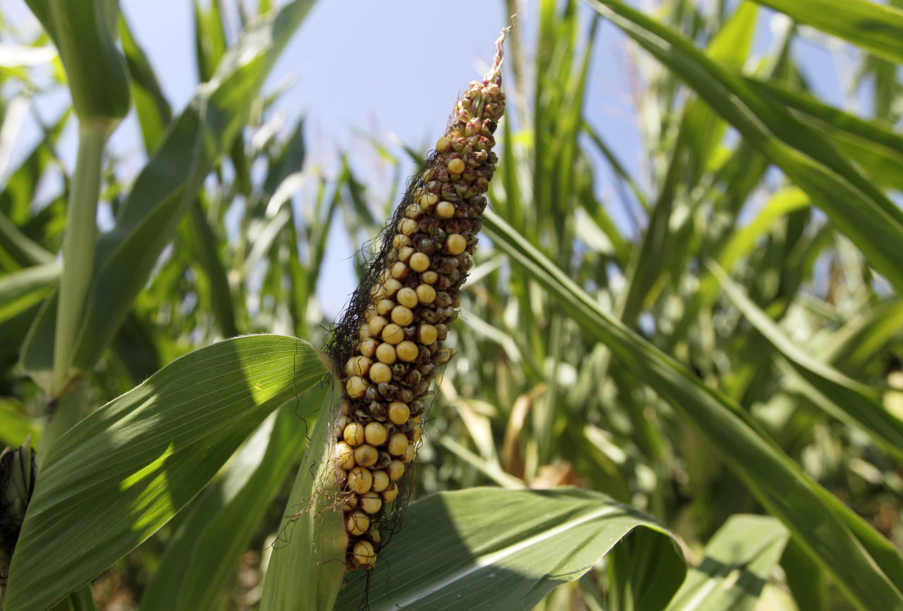This photo from Aug. 1, 2012, shows a drought damaged ear of corn in Westfield, Ind., corn field. U.S. corn growers could have their worst crop in a generation as the harshest drought in decades takes its toll, the government reported Friday, Aug. 10, 2012, as it forecast the lowest average yield in 17 years. (AP Photo/Michael Conroy, File)