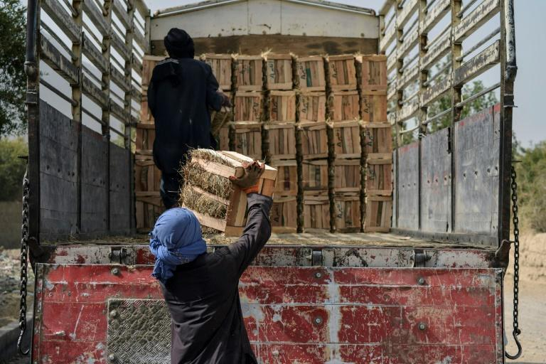 Usually, between 40,000 and 50,000 tonnes are exported across the Spin Boldak border to Pakistan, and also on to India and the Gulf states each year (AFP/Javed TANVEER)