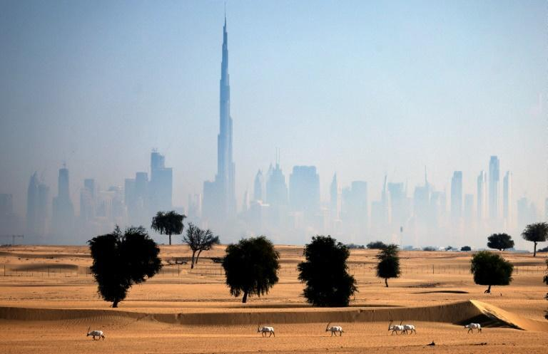 Oryx antelopes can be seen in the desert in the United Arab Emirates with the Dubai skyline in the background (AFP/KARIM SAHIN)