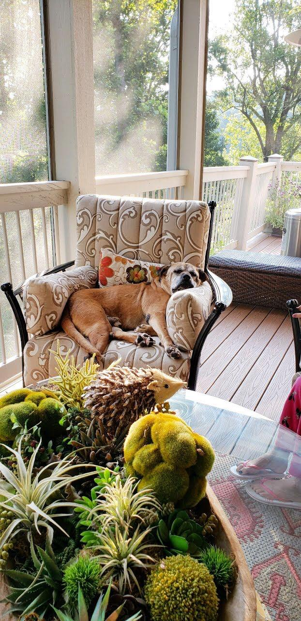 Brutus takes a nap on a lounge chair in his new home. (CreditL Asheville Humane Society)