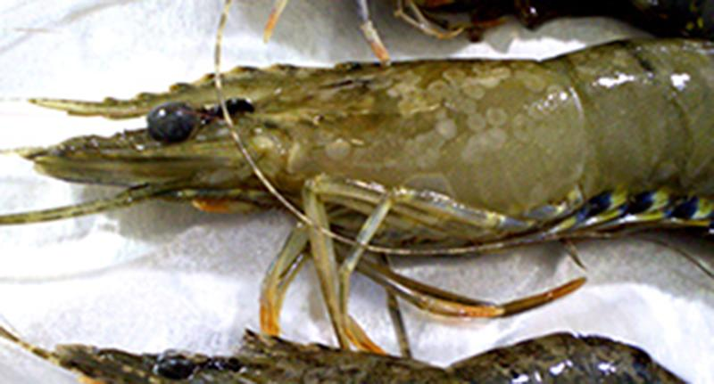 Deadly prawn virus detected at supermarkets