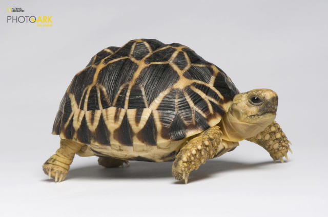<p><strong>Critically endangered, fewer than 5,000 left in the wild.</strong> <br> Photographed at the Los Angeles Zoo in Los Angeles, California. (© Photo by Joel Sartore/National Geographic Photo Ark)<br><br><em> Support the Photo Ark and projects working to help save species</em><br><em> at PhotoArk.org and join the conversation on social media with</em><br><em> #SaveTogether.</em> </p>