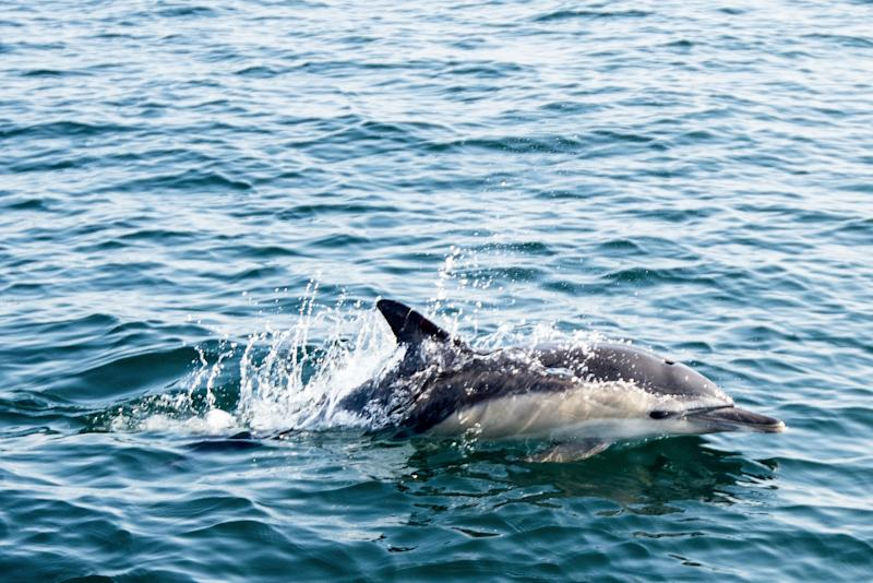 Dolphins at risk of developing COVID-19