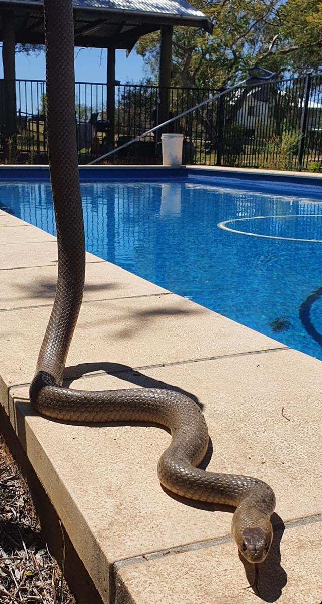 Pictured is the eastern brown snake after Andrew caught it.