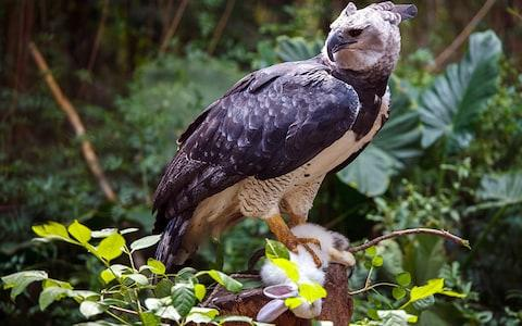 A harpy eagle grips its prey - Credit: istock